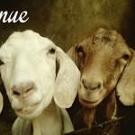 Moutons de la ferme de Bonneville
